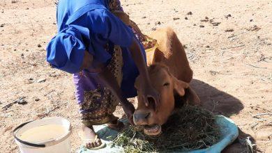 Photo of Umzingwane women save dying cattle