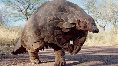 Photo of Matobo woman arrested for possession of pangolin skin
