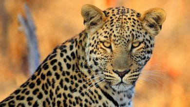 Photo of Leopard terrorises Vic Falls residents