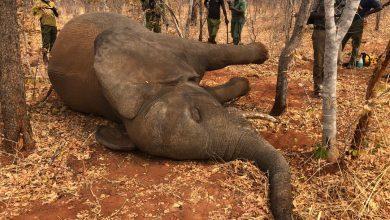 Photo of Contaminated grass could have killed Hwange elephants: Mzembi