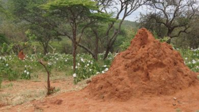 Photo of Lupane couple kills child, buries body in anthill
