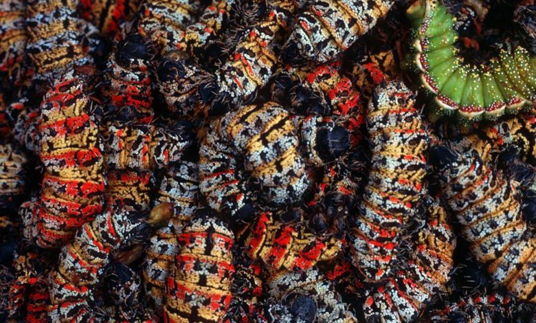 Photo of Zim`s widely consumed insects and vegetables